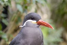 Free Inca Tern H&S Stock Image - 5358871