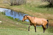 Free Quarter Horse Mare In Pasture Royalty Free Stock Image - 5358876