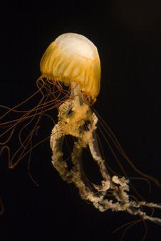 Sea Nettle Vertical Long Stock Photo