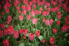 Free Tulip Field Stock Images - 53549724