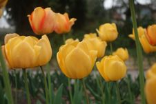 Free Yellow Tulips Royalty Free Stock Photos - 53549728