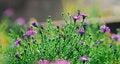 Free Chrysanthemum Stock Photos - 5365803