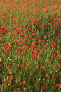 Free Poppies  Field Stock Photography - 5369832