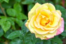 Live Yellow Rose Stock Image