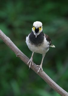 Free Black-collared Starling 94-32 Stock Photos - 5361453