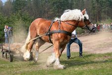 Free The Draught Horse - The Sudden Effort Stock Image - 5361611