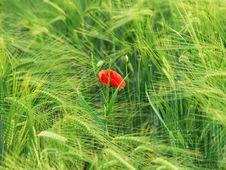 Free Poppy Stock Photo - 5361670