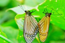 Free Butterfly(Acraea Issoria Hubner) Stock Images - 5361744