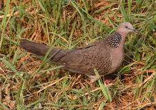 Free Spotted Dove  49-27 Royalty Free Stock Photos - 5361868