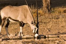 Oryx Drinking From Waterhole Royalty Free Stock Images