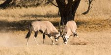 Free Two Gemsbok Fighting Royalty Free Stock Images - 5362539