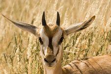 Free Young Springbok Stock Photos - 5362543