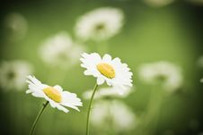 Free Two Chamomile Stock Photography - 5362552