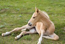 Free Palomino Quarter Horse Stock Images - 5363234