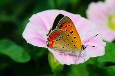 Free The Butterfly And Morning Glory Stock Images - 5363404