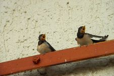Free Hungry Barn Swallow Chicks Royalty Free Stock Image - 5363576