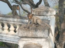 Free Wild Monkeys Royalty Free Stock Photography - 5363607