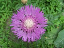 Free Purple Cornflower Stock Photos - 5363633