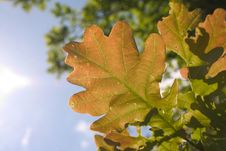 Free Leaf Of Oak Tree Royalty Free Stock Images - 5363649