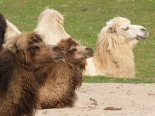 Free CAMELS Stock Images - 5363654