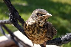 Free Robin Fledgling Royalty Free Stock Photography - 5363687