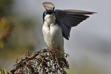 Free Tree Swallow(iridoprone Bicolor) Stock Images - 5363694