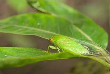 Green Cicada Stock Photography