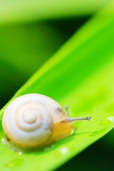 Free Snail Royalty Free Stock Photo - 5363925