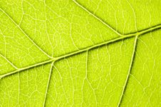 Free Green Leaf Close-up. Royalty Free Stock Images - 5363949