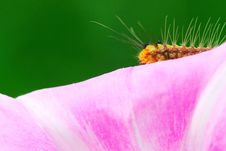 Free Caterpillar And Morning Glory Royalty Free Stock Photography - 5364047