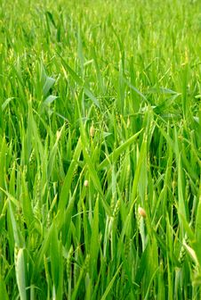 Free Green Wheat Field At Spring Stock Photo - 5364360