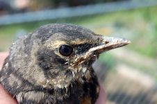 Free Robin Fledgling In Hand Royalty Free Stock Photography - 5364417