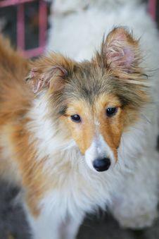 Free Shetland Sheepdog Stock Images - 5364474