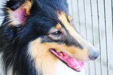 Free Shetland Sheepdog Stock Images - 5364834