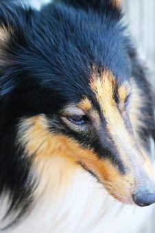 Free Shetland Sheepdog Royalty Free Stock Images - 5364849