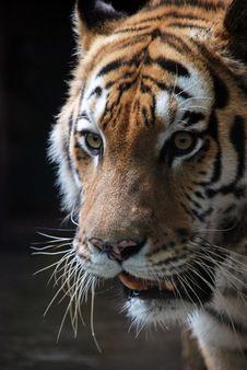 Free Tiger Stock Photo - 5365570