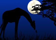 Free Giraffe Eating In Moonlight Royalty Free Stock Photos - 5366908