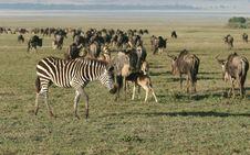 Free Zebra Againts Herd Of Wildebeest Stock Photography - 5367122