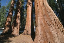 Free Sequoia Sempervirens Royalty Free Stock Photography - 5367237