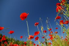 Free Red Poppies Royalty Free Stock Photo - 5367245