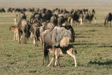 Free Wildebeest Feeding The Little One Royalty Free Stock Image - 5367246
