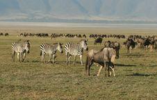 Free Zebras Againts Herd Of Wildebeest Stock Photo - 5367320