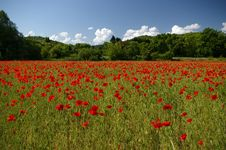 Free Field Of Red Poppies Royalty Free Stock Photos - 5367338