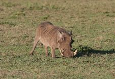 Warthog In Grass. Royalty Free Stock Photos