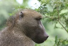 Free African Baboon Royalty Free Stock Image - 5367476