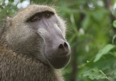 Free African Baboon Stock Photography - 5367482