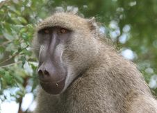 Free African Baboon Stock Images - 5367484