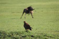 Free Eagle Against Wildebeest Stock Photo - 5367490