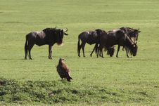 Free Eagle Against Herd Of Wildebeest Stock Photo - 5367530