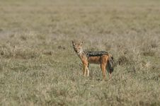 Free Black-backed Jackal Stock Photography - 5367562